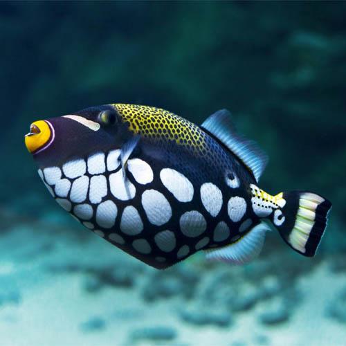 triggerFish
